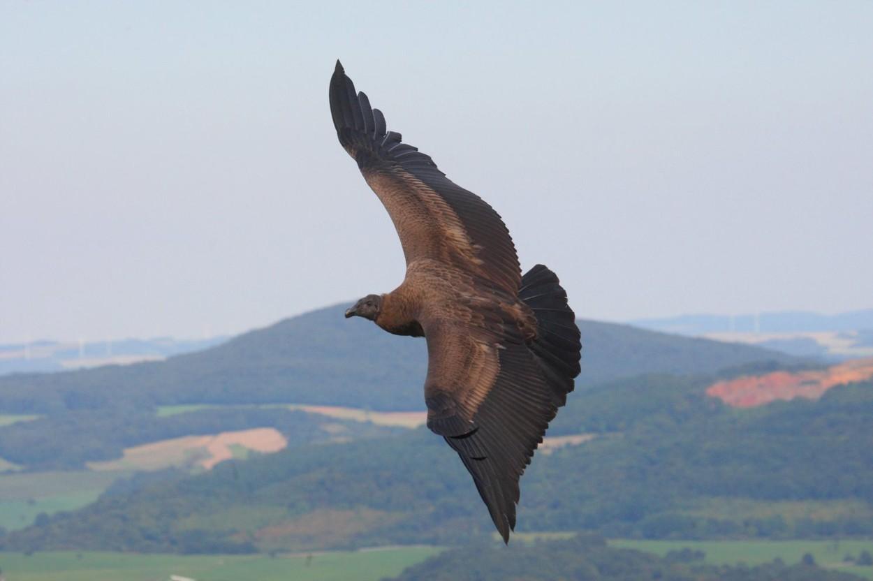 andski kondor