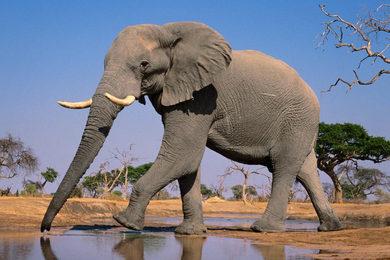 smrt slonova