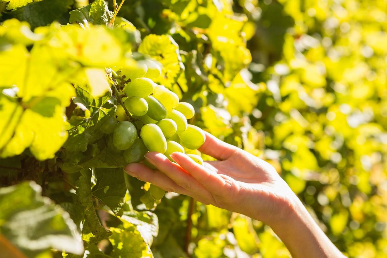 drobljeno staklo proizvodnja grozdja