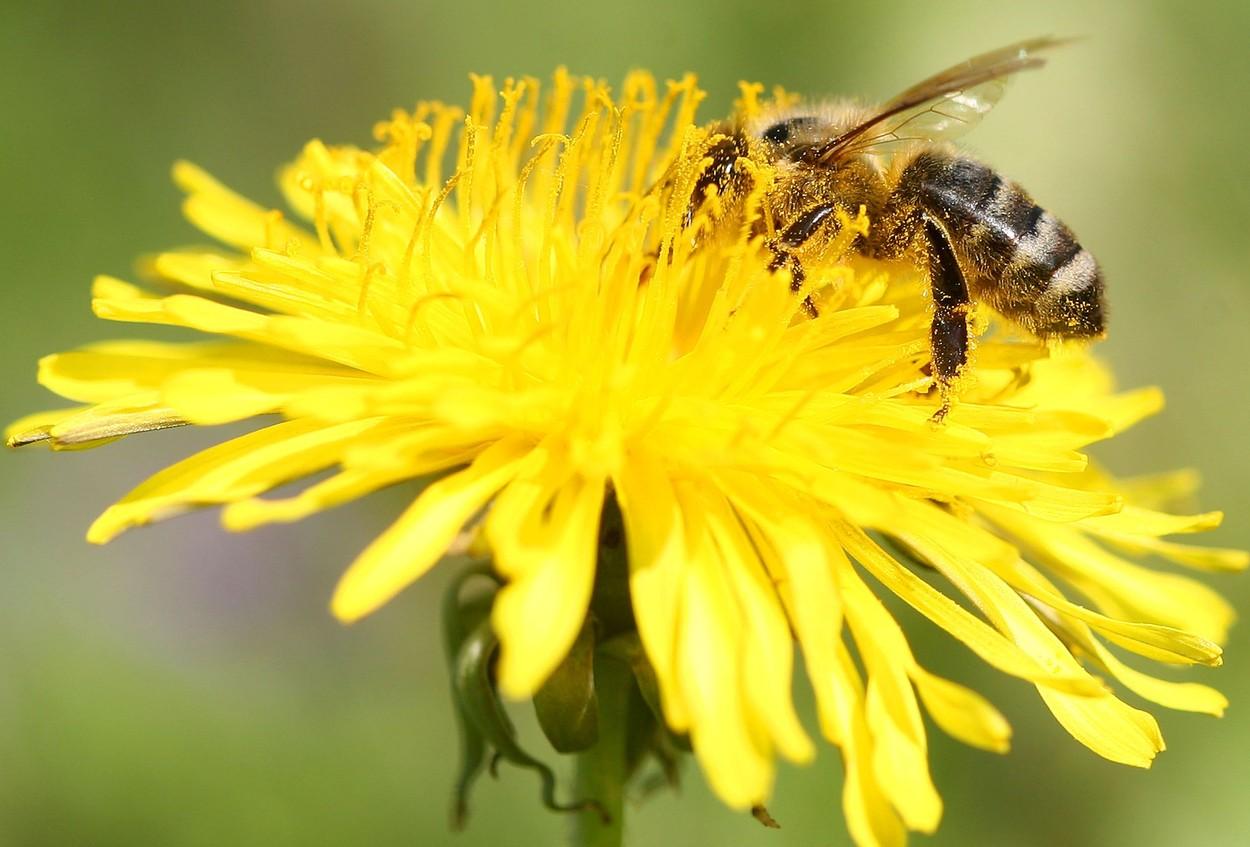 pčela beč