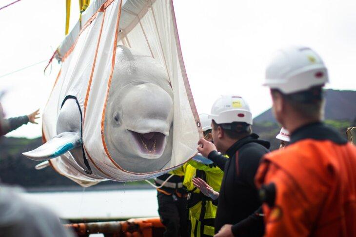 beluga kitovi