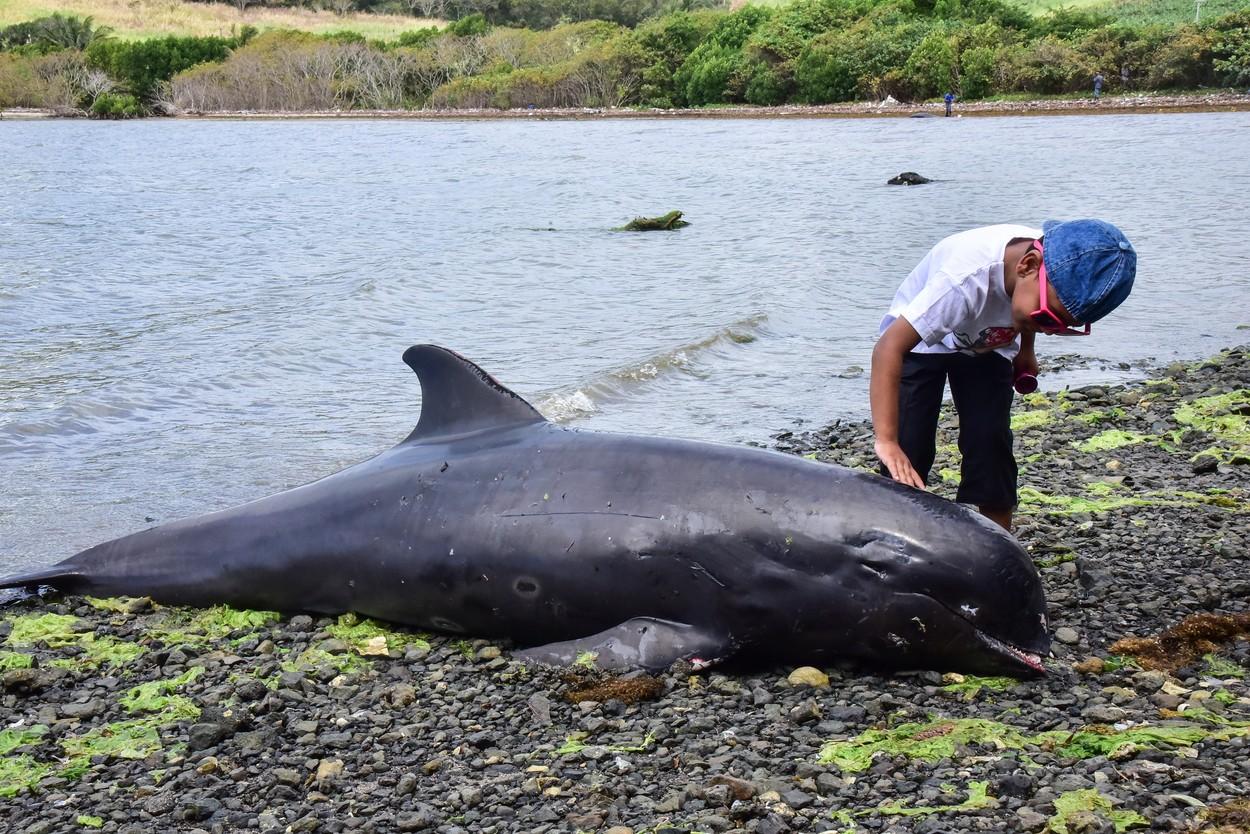 uginuli delfini na mauricijusu