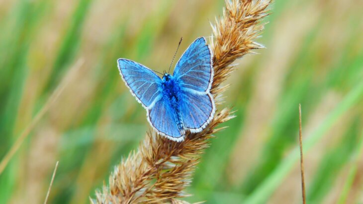 legenda o plavom leptiru