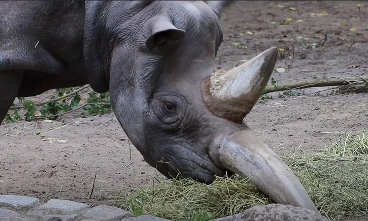 najstariji nosorog na svetu