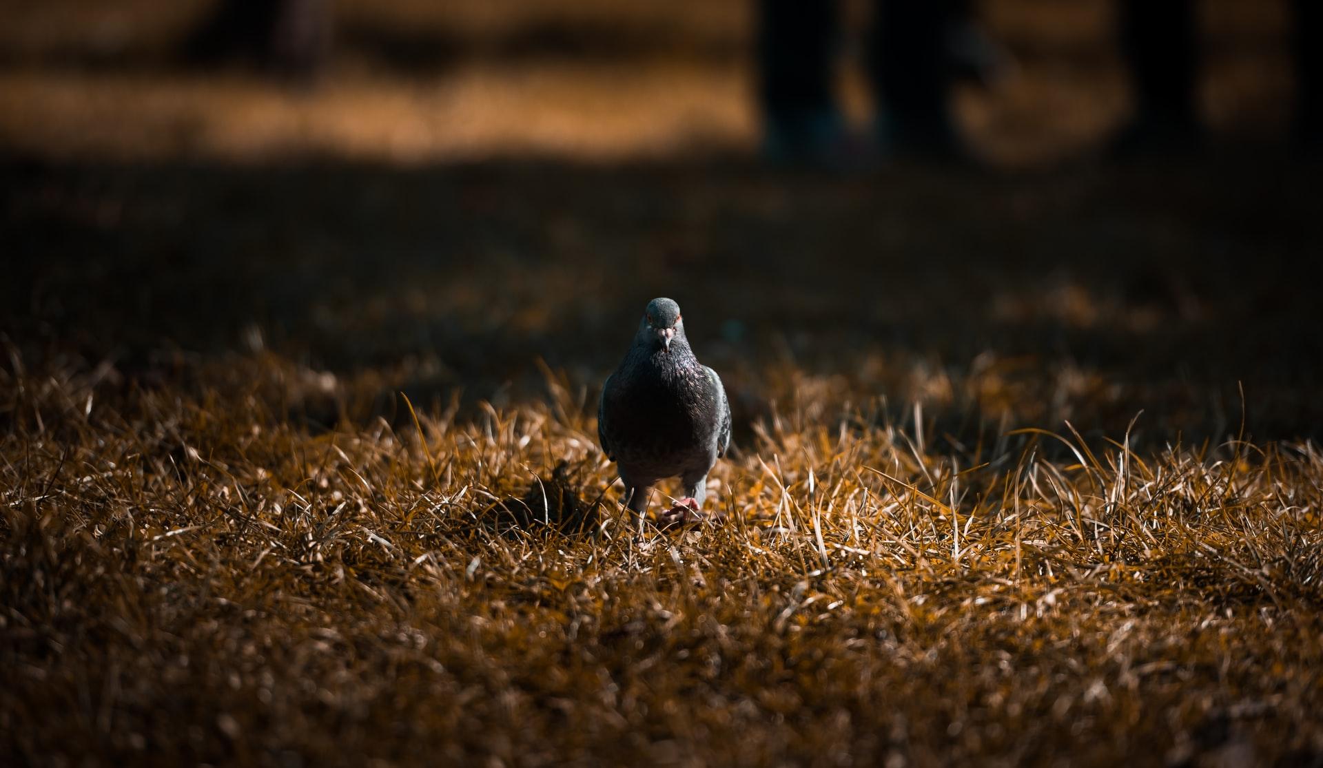 golub pismonoša