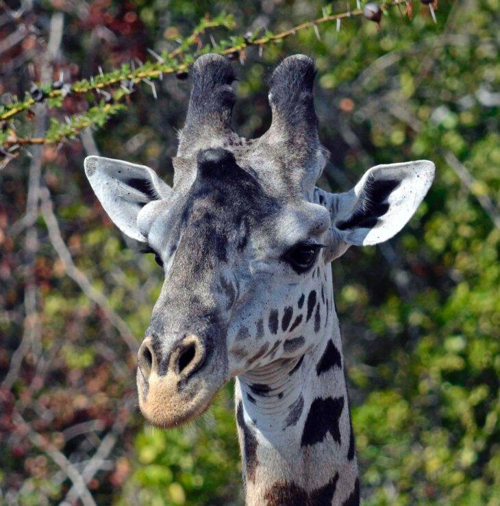 bela žirafa